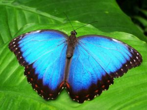Photo of a blue butterfly on a green leaf.